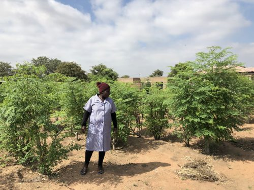 Moringa plantations grow rapidly